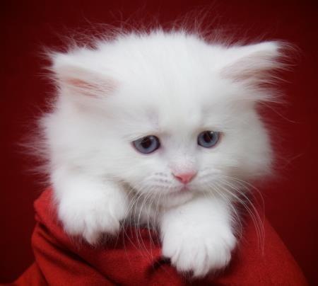 Ragdoll Cats Ragdoll Kittens For Sale O Canada Ragdolls