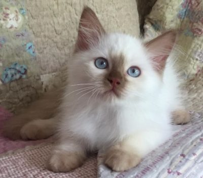 Ragdoll Cats, Ragdoll Kittens for Sale | O Canada Ragdolls